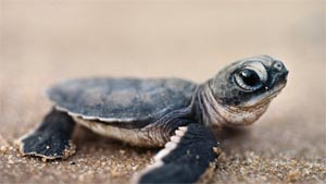 Hatchling Turtle Horizon